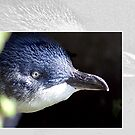 Australian Birdlife - Little Penguin by Holly Kempe