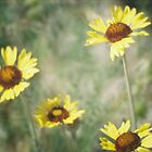 Wildflowers: Wild Sunflower by Andrea Jehn Kennedy