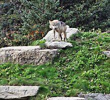 HANDSOME WOLF by cdudak