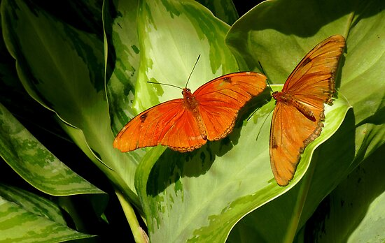 Julia Butterfly Pair   407 Views by Rosalie Scanlon