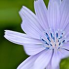 common chicory by Jo Wright