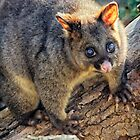 Brushtail Possum  by Paul Amyes