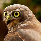"""Abby"", Barking Owl, Raptor Domain. by Mel1973"