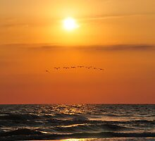 Pelicans Arrival  by cdgImages