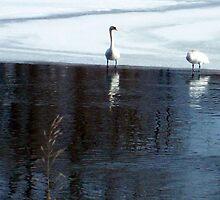Riverside Wild Swans by Michelle BarlondSmith
