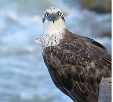 The Osprey - Sovereign of Strength, Vision & Spirit by FIONA M. HENSHAW