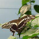 Butterfly Beauty by karenuk1969