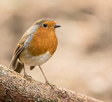 Robin by kt-photography