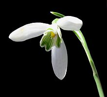 The First Snowdrop by jacqi