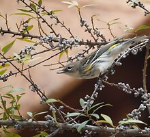 Yellow-Rumped Warbler by Susan E. Adams
