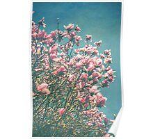 Pink Magnolia Blooms Poster