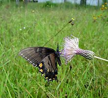 Eastern Tiger Swallowtail on Thistle by May Lattanzio