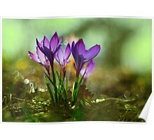 Morning impression with crocuses Poster