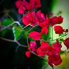 Red Leaves by Ahmed Shamsi