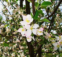 Apple tree blooming by Carlyn Luken