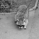 Racoon Walking - B/W by karenuk1969