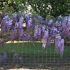 Purple Wisteria over a fence. Toowoomba, Qld. Australia by Marilyn Baldey