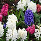 A Hyacinth Bucket by WalnutHill