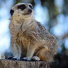 Meerkat - Halls Gap Zoo by forgantly