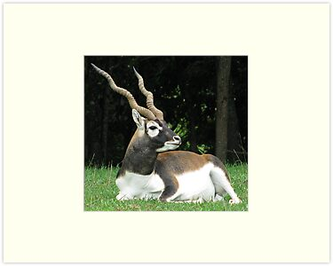 Male Black Buck Antelope by Ginny York