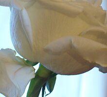 White Rose Texture by Michelle BarlondSmith