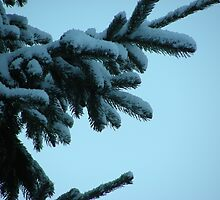 Snow clad fir  bough by brittle1906