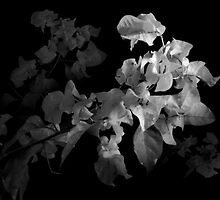 Emerging Bougainvillea In Black and White by Cheryl Eagers
