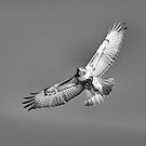 Red Tail B&W  by Deborah  Benoit