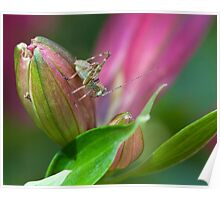Cricket on a Princess Lily flower bud Poster