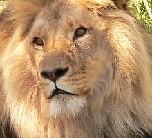 Lion at Melbourne Zoo IV by Tom Newman