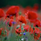 Views: 8331. I just pity year and beautiful dancing poppy flowers.   A mnie jet szkoda lata. Andre Brown Sugar This image Has Been S O L D .  Fav 41 .  Buy what you like! Thx! by © Andrzej Goszcz,M.D. Ph.D