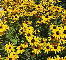 Black Eyed Susans by Bellavista2