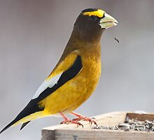 Evening Grosbeak by lloydsjourney