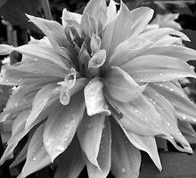 Raindrops on a lovely Dahlia  by sstarlightss
