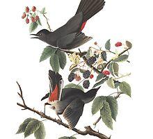 Gray Catbird - Audubon Birds of America, Dumetella carolinensis by SJ Griffin