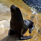 Diago Large Sea Lion , Gweek Cornwall by lynn carter