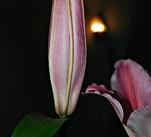 Lily bud. by khadhy
