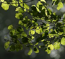 Backlit Leaf's by Robert Kendall