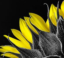 Selective Colour Sunflower by gamaree L