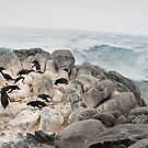 Penguins in the Australian Antarctic Territory, Commonwealth Bay by Phill Danze