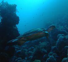 Hawksbill Turtle by cooperscuba