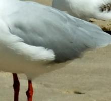 Silver Gull Australia Sticker