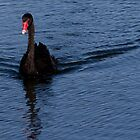 Black Swan at Lake Monger Reserve, Perth W.A. by Sandra Chung