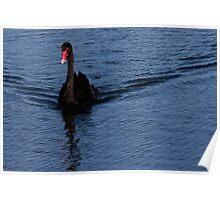 Black Swan at Lake Monger Reserve, Perth W.A. Poster