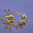 Mating Dragonflies by Moorey
