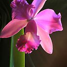 magenta orchid by picketty