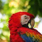 Scarlet Macaw by Laurel Talabere