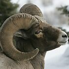 Ram&#x27;s Pose by Ken McElroy