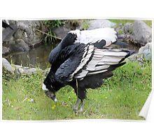 Female Andean Condor Poster