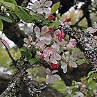 Apple Blossom by Astrid Ewing Photography